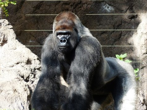 What Harambe and Bantu's deaths have taught us about zoos