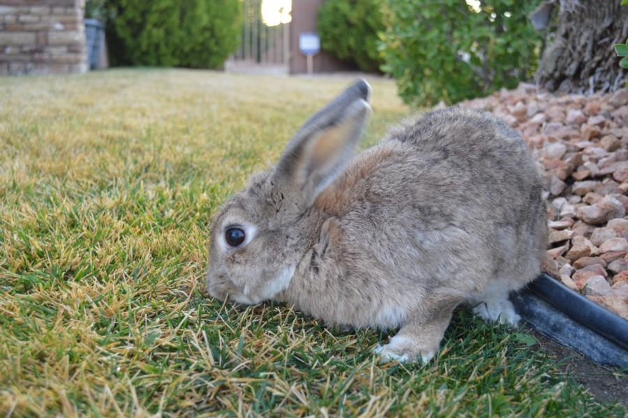 Dakota%2C+a+pet+rabbit%2C+plays+in+the+grass.+